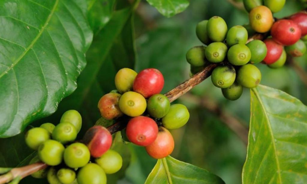 Våre kaffebær plukkes hos en sertifisert kaffefarmer!