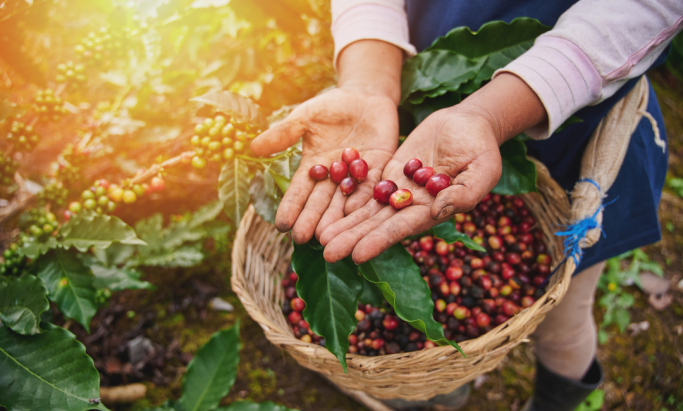 Kaffebonde viser frem kaffebær