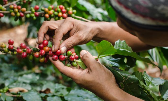 Etiopisk kaffebonde plukker kaffebær