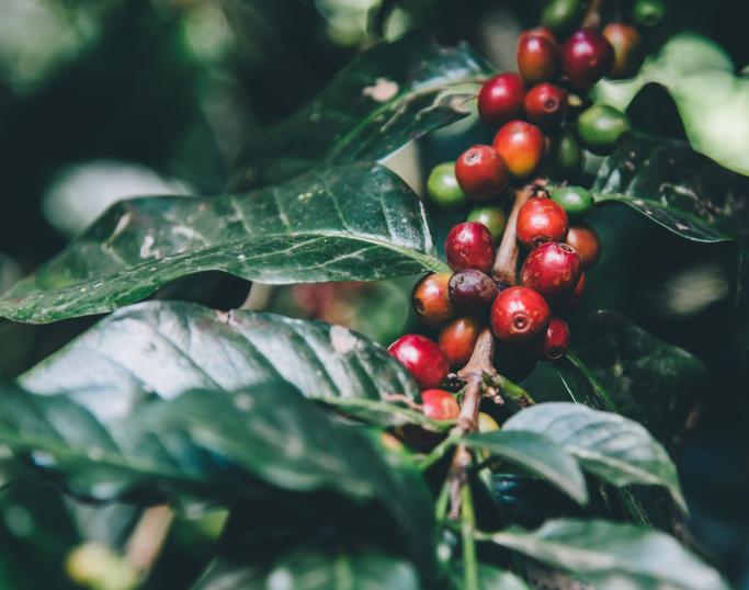 Kaffebær på kaffeplante