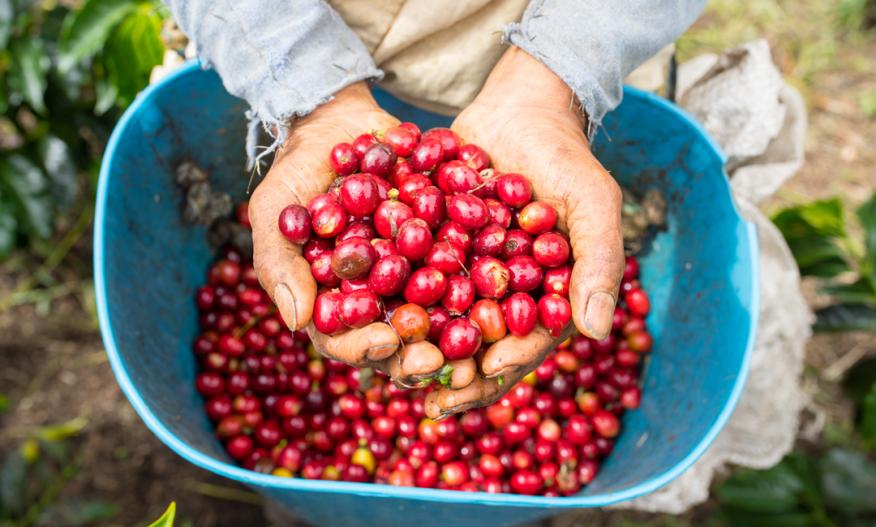 En kaffebonde har hendene fulle av kaffebær