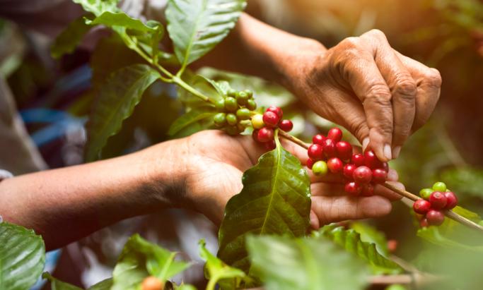 En kaffebonde plukker kaffebær