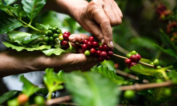 En kaffebonde plukker kaffebær.