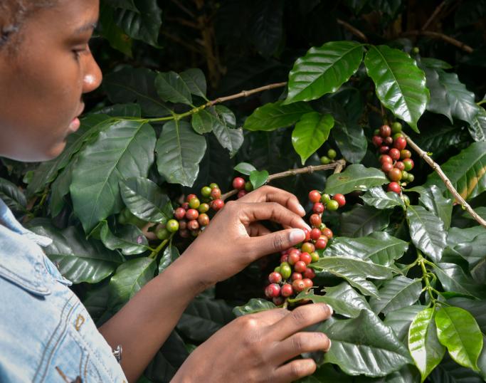 Kaffebonde undersøker kaffeplante