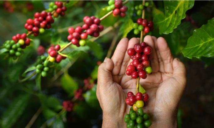 Hender som holder kaffebær