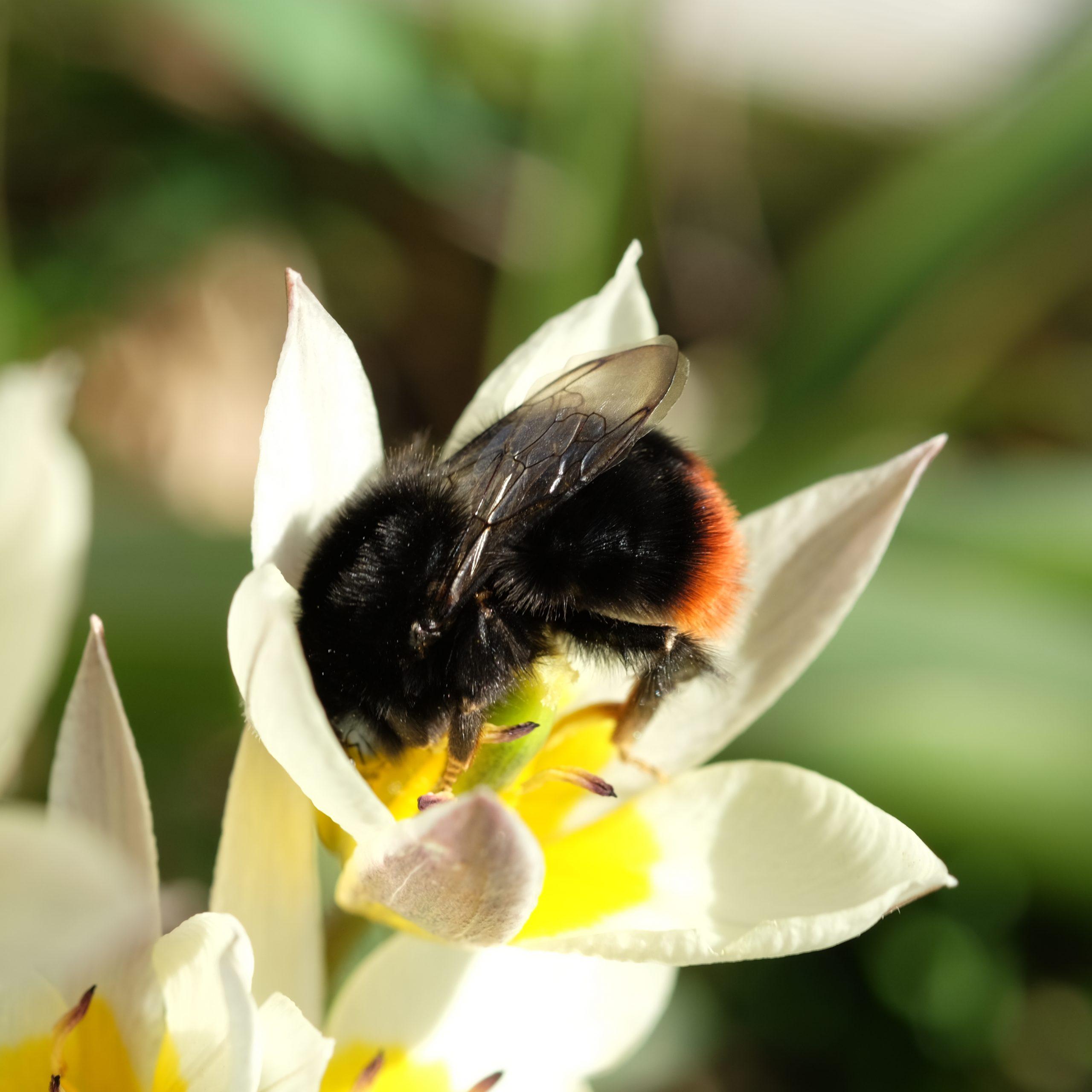 steinhumle på jakt etter nektar