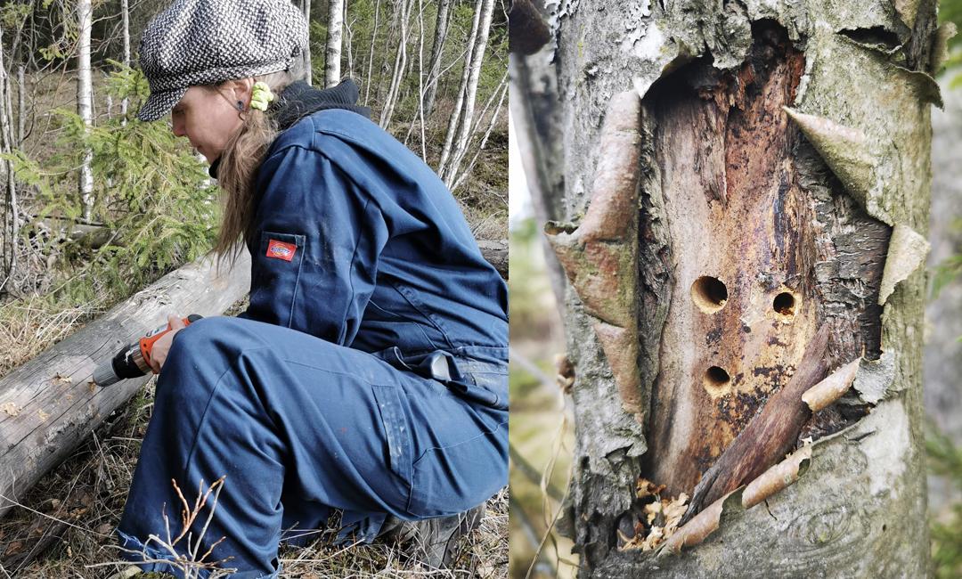 Driller hulrom til solitære bier i en trestamme